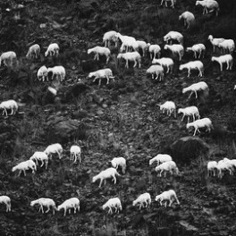 Fleeting Sheep