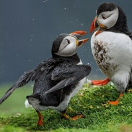 Huffing Puffins