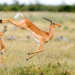 Where the Antelope Play